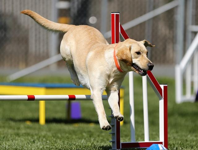 Quels critères pour participer au concours canin ?